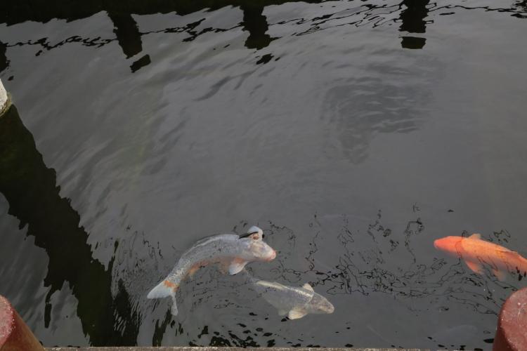 忍潮井の中で泳ぐ鯉
