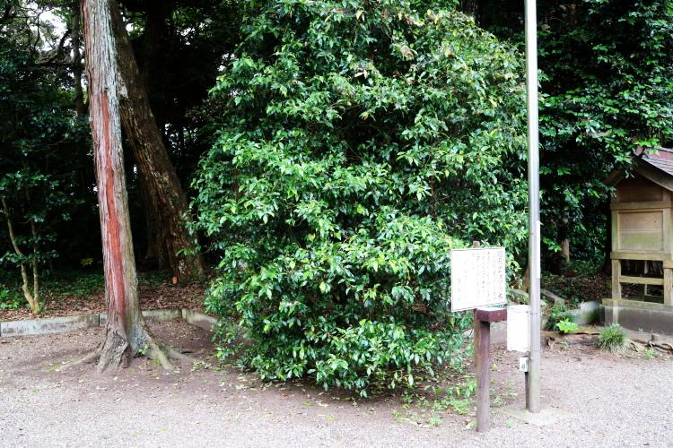 境内にある招霊の木