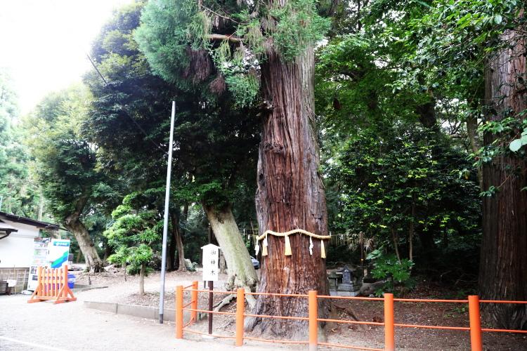 息栖神社の御神木