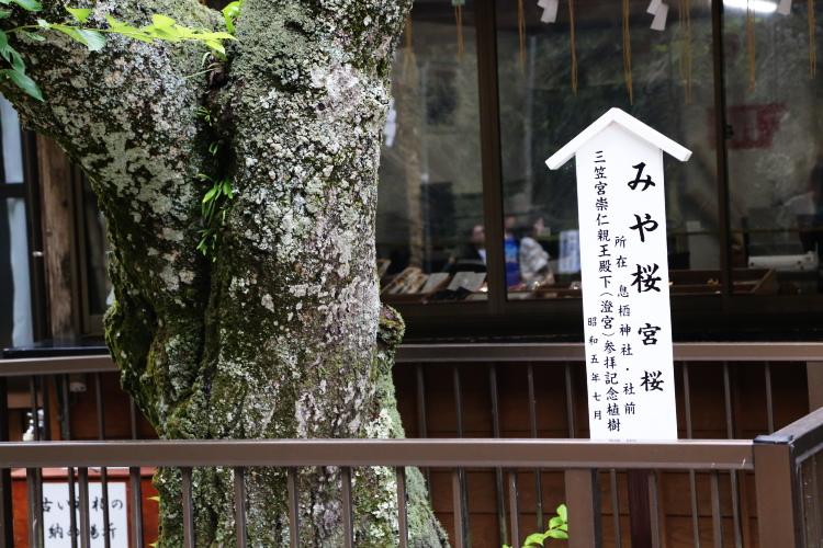 息栖神社境内に植えられたみや桜