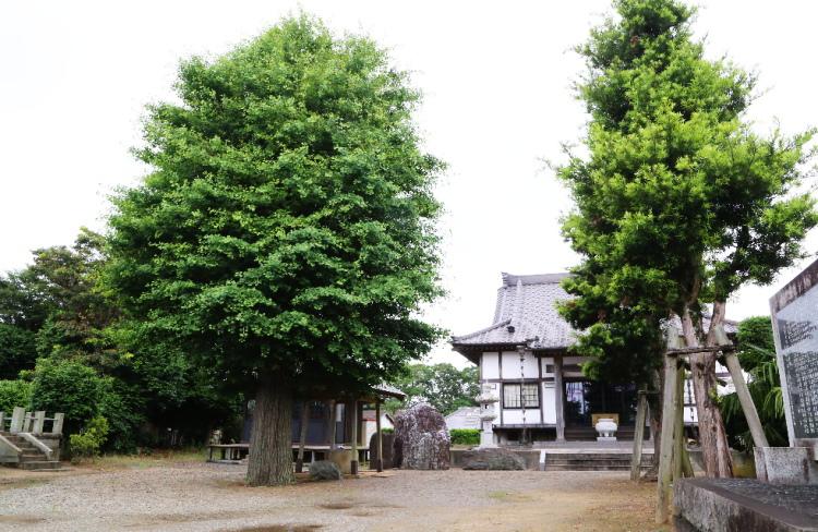 極楽寺の境内にある大きな銀杏の木