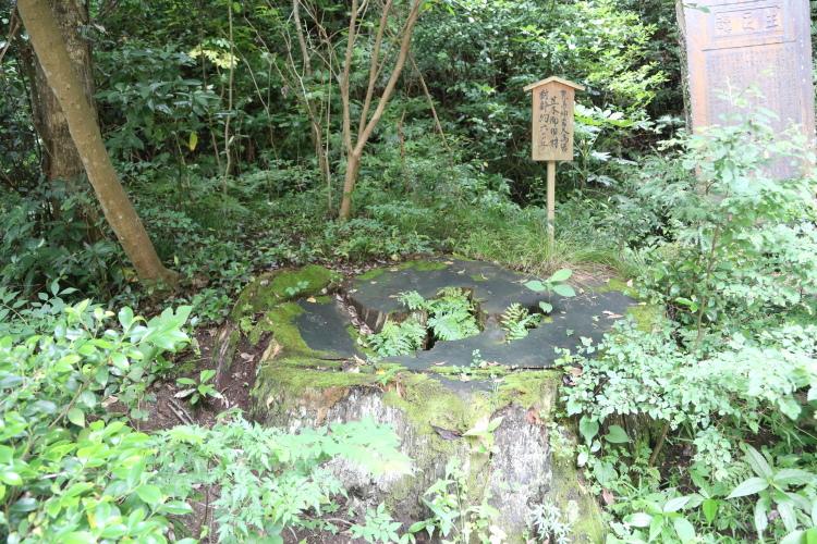 大鳥居を作るときに使われた杉の切株