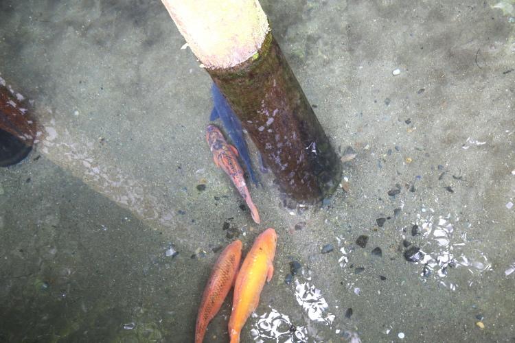 御手洗池で泳ぐ鯉たち