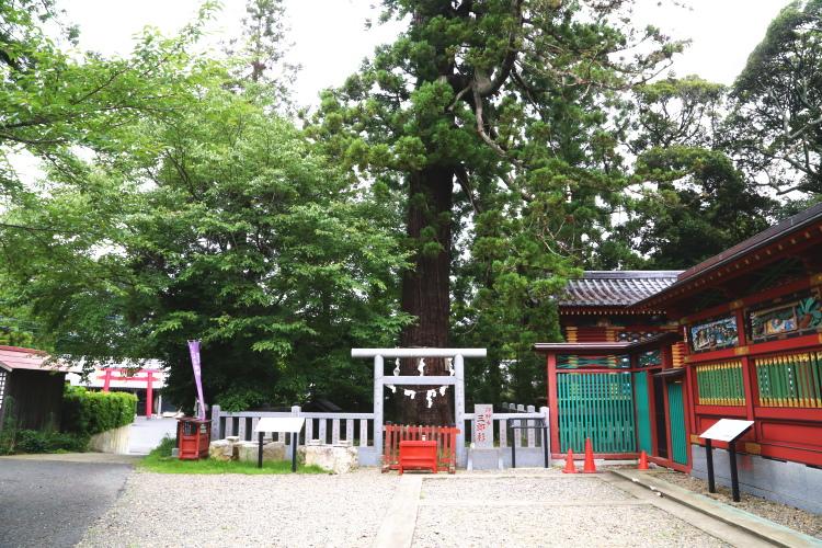 大杉神社の御神木である三郎杉