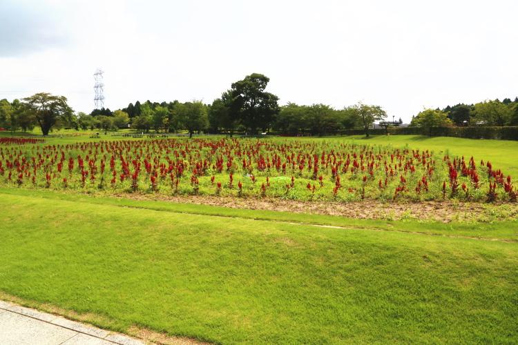 牛久大仏の庭園にあるお花畑