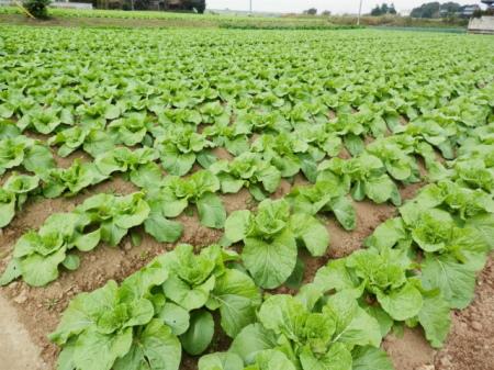 白菜を作っている畑