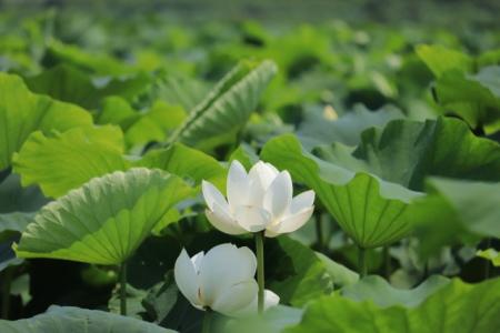 レンコンの栽培