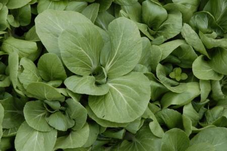 栽培中のチンゲン菜