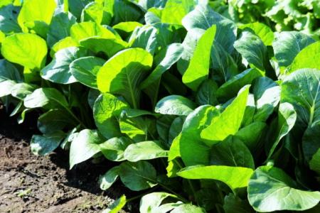 小松菜を栽培している畑