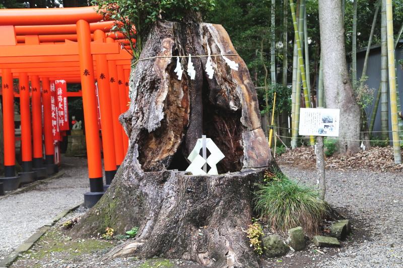 常盤稲荷神社の入口にある楠の切株