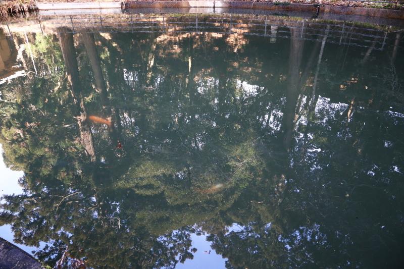 鯉が泳いでいる社殿の周りの池