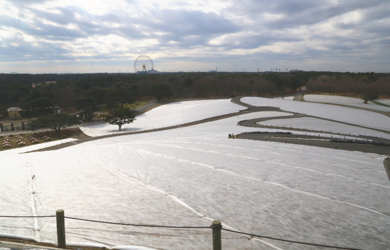 霜よけのシートが張られたみはらしの丘
