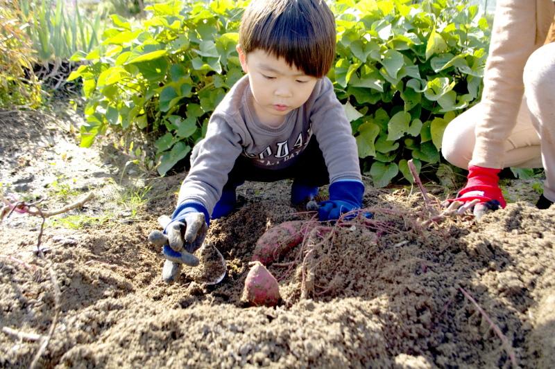 サツマイモ狩りをする子ども